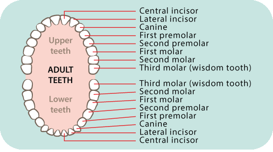 Adult teeth diagram