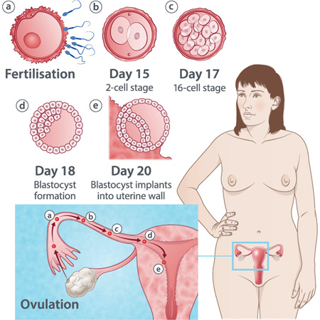 pregnancy illustration, week 3